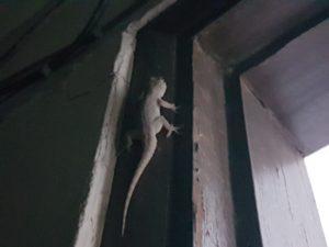 フィリピンでよく見かけるヤモリ