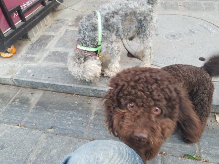 大理古城内の犬