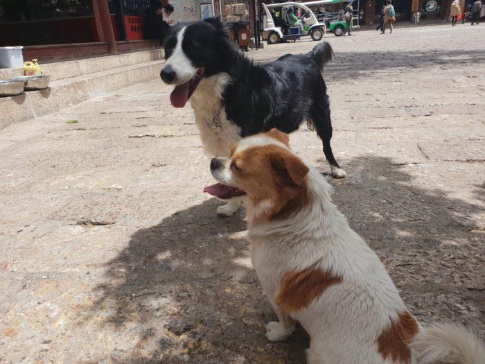 中国のかわいい犬